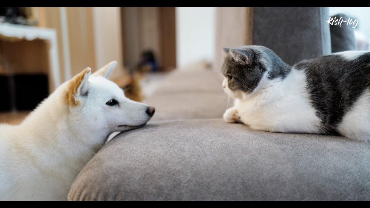 다 큰 먼치킨고양이와 다 큰 시바견이 합사를 하면 생기는 일 feat. 한식 파인 다이닝 '주옥' (petlog27)