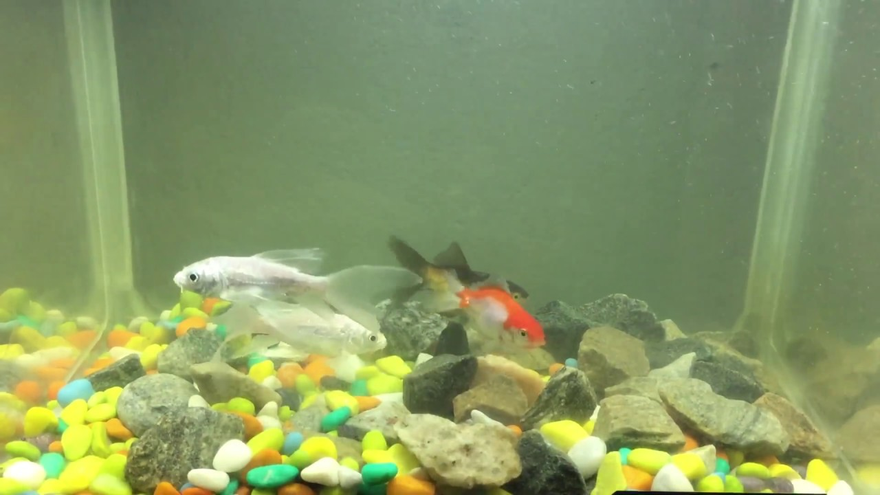 Milky white long fin koi and gold fish youtube for Milky koi fish