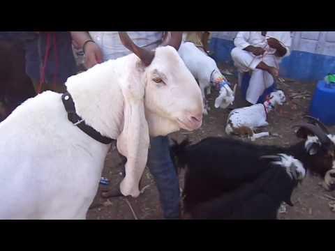 goat market karachi - cinemapichollu