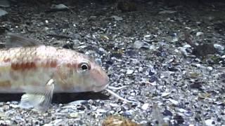 видео Барабулька черноморская ловля
