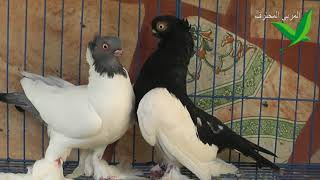 حمام ملك الجبل والكلر هيد مفارقة بسيطة ومهمة جدا | bird pigeons