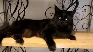 I.Ch.ODISSEY SHAGGY ANGEL*RU - Мейн-кун кот Интер-Чемпион В ПРОДАЖЕ