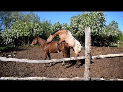 Случка лошадей. Молодой