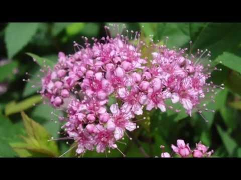 Цветёт спирея японская