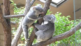 東山動植物園 2019/03/28 コアラ 混みすぎであまり見れませんでした   p...