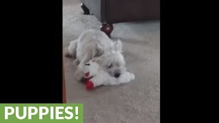 "Cairn Terrier ""sings"" when he plays with squeaky toy"