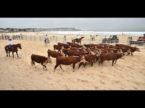 أبقار تجتاح شاطئاً أسترالياً للمطالبة بخدمات صحية  - نشر قبل 3 ساعة