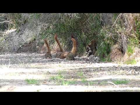 Coatis On The San Pedro River