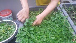 Cách cắt Rau Má , bón phân cho rau lên đều , xanh mơn mởn | Khoa Hien 234