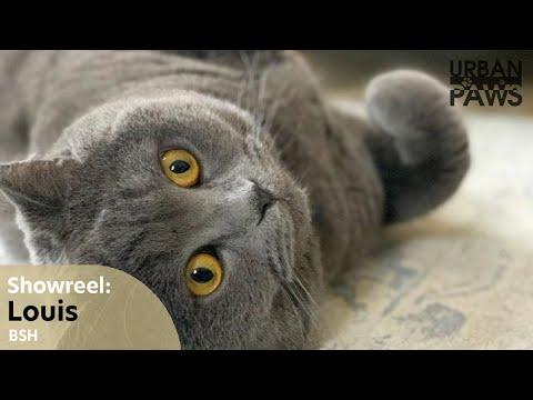 Cat Training: Louis (British Short Hair)