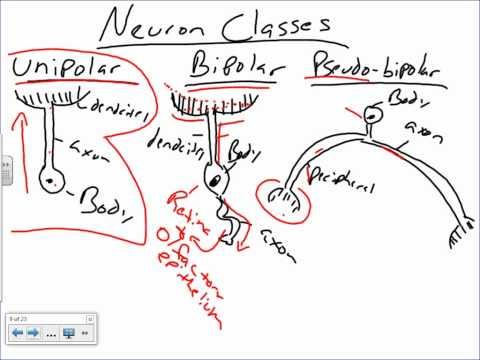 Histology of Nervous Tissue.wmv
