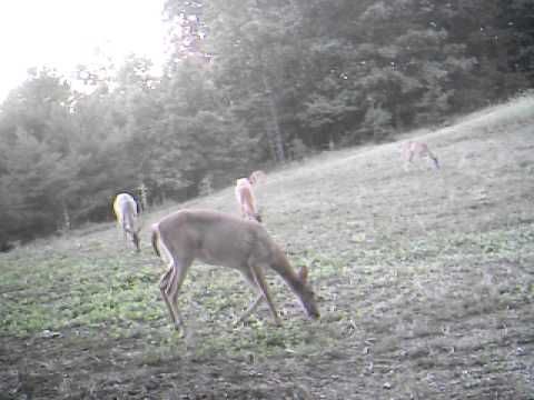 Deer and turkey in my food plot