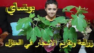 زراعة التين, طريقة زراعة التين, زراعة التين في المنزل