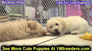 Bichon Poo, Puppies, For, Sale, In, Philadelphia, Pennsylvania, Pa, Borough, State, Erie, York