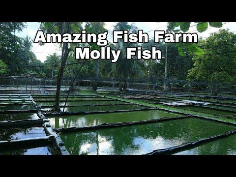 Million of molly fish | Nice molly fish farm Extra ordinary molly fish (W/ english subtitle)