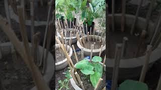 trồng khoai sọ trong chậu