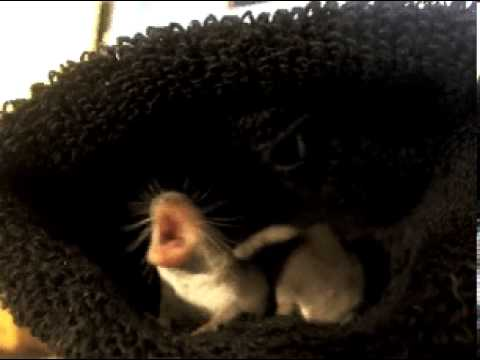 Image result for Etruscan shrew youtube