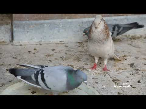 Odakle potiče izreka - Vole se kao golub i golubica?