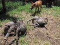 Cua dừa - loài cua trên cạn lớn nhất thế giới với ngoại hình như quái vật ngoài hành tinh