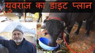 युवराज के मालिक करमवीर जी से बातचीत | Murrah bull Yuvraj Diet plan