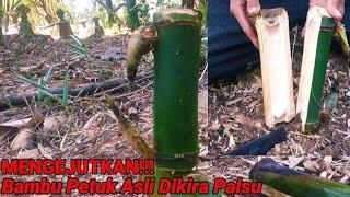 Mengejutkan!!! Bambu Petuk Asli Dikira Palsu