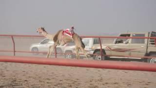Camel Race Kuwait 2017