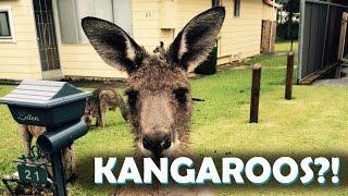 KANGAROOS ON THE STREET IN AUSTRALIA?!