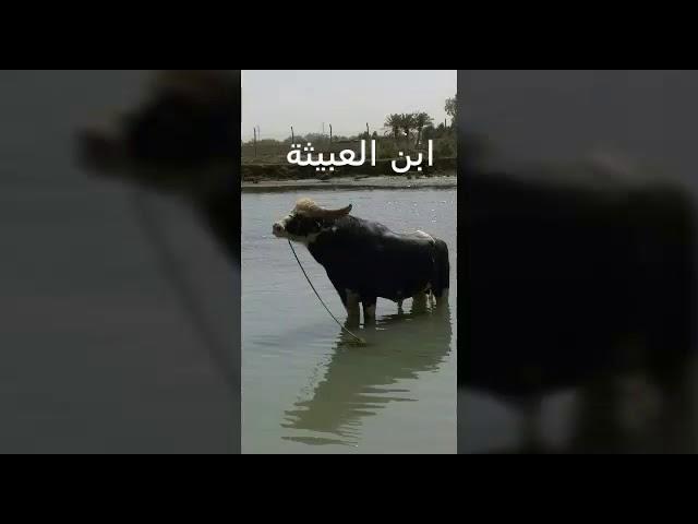 فحل جاموس  ال سيد عباس ال سيد جبر