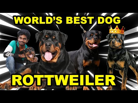 ROTTWEILER DOG LOVERS 😍 & FACTS 🔥| KING OF DOGS | தமிழ்