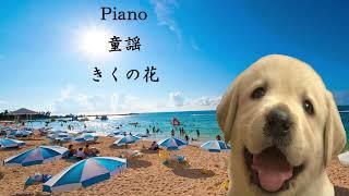 Piano 童謡   きくの花
