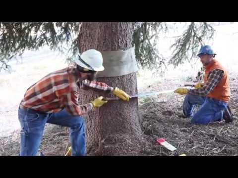 Idaho sends a Christmas tree to Washington D.C.