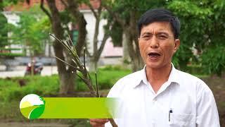 Kỹ thuật trồng Đinh Lăng   Nam Định