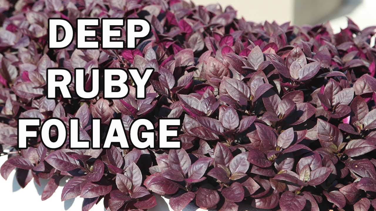 Little Ruby Alternanthera Is A Compact Groundcover Plant