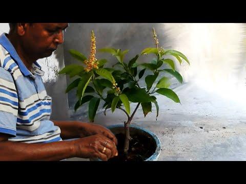 Mango Tree Grafting And Bonsai (update)