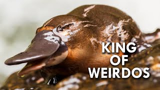 Platypus: The King of Weirdos