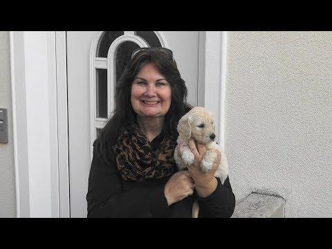 Familie Goldendoodle Ausgewachsen Welpe Eltern Grosseltern Werbung Www Welpenvermittlung Hunde At Youtube