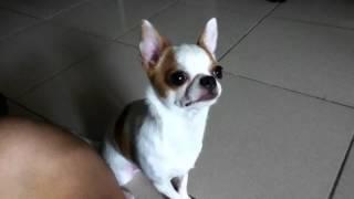[球球]有夠聽話的狗狗,很會握手哦! thumbnail