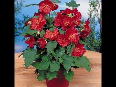 Цветок абутилон красный Белла, Джульетта, Гибридный видео