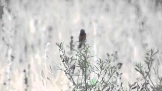 Capuchino garganta café (Sporophila ruficollis) VOCES