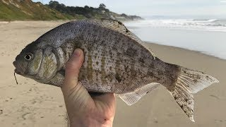 Surf Fishing for Surfperch - Lucky Craft Flash Minnow Review Pt. 2