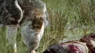 El Águila de Haast: El último gran depredador