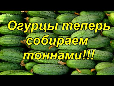 ОГУРЦЫ В ОДИН СТЕБЕЛЬ- СУПЕР УРОЖАЙНОСТЬ, СУПЕР СПОСОБ!!! Теперь огурец все выращивают именно так!