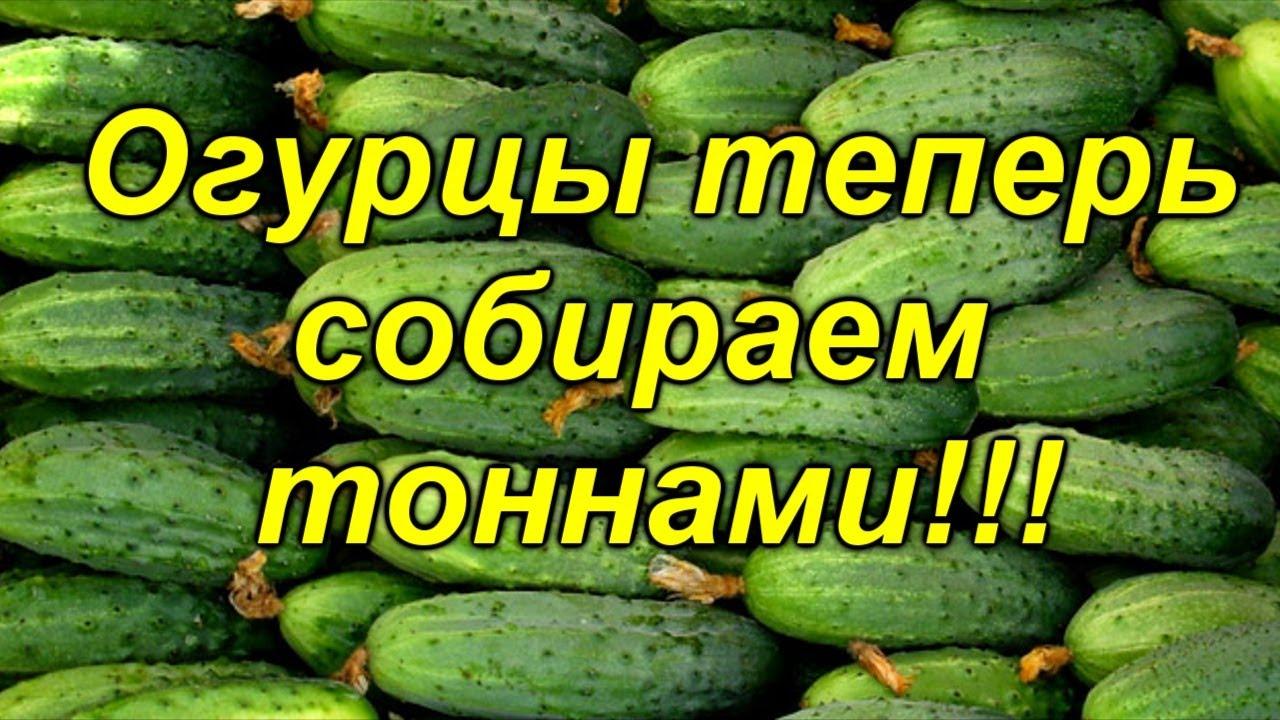ОГУРЦЫ В ОДИН СТЕБЕЛЬ- СУПЕР УРОЖАЙНОСТЬ, МЕГА СУПЕР СПОСОБ!!! ( это работает!)