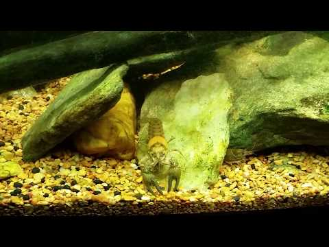 Warmouth Sunfish Eating Bloodworms In My Native Tank 5/21/17