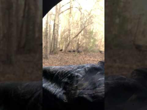Turkeys while deer hunting in Macon County, Al
