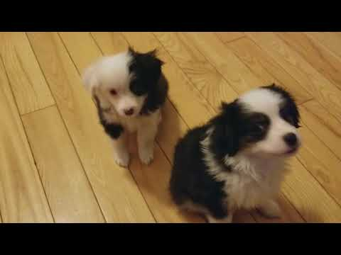 Almost 9 Week Old Toy Aussie Pups in Training