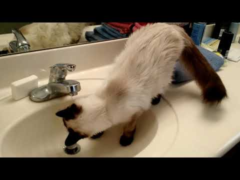 Einstein the Siamese Ragdoll Cat - He loves the water.  🐈