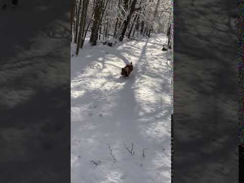 Gus charges through the snow to camera