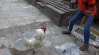 funny white hen