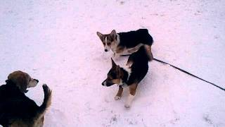 Gizmo The Corgi Meets Gizmo The Chihuahua X Corgi